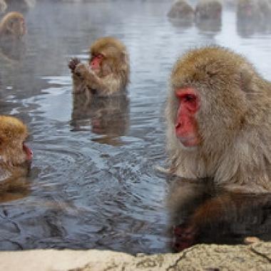 Japanese macaques Jigokudani Yaenkoen Park, Japan